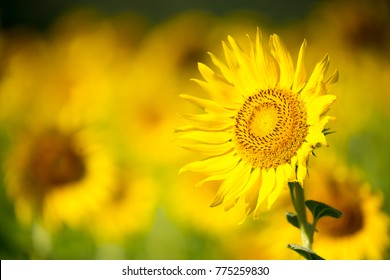 Close up sunflowers.