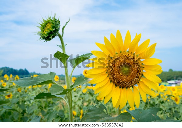 Close up sunflowers in green fields with green leaves of sunflower