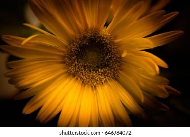 Up close sunflower/Sunflower Sunburst