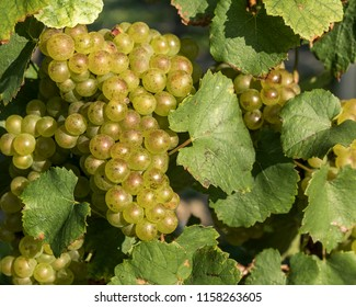 A close up of sunlit green grapes hanging of the vine in Niagara on the Lake Ontario Canada.