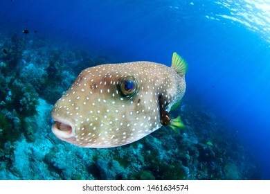 Close up super wide angle underwater image of a puffer fish looking into the camera with a funny face, scuba diving in Indonesia
