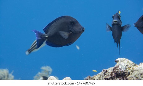 Close up of Surgeonfish in coral reef of the Caribbean Sea around Curacao