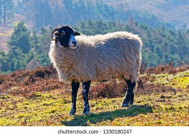 Close up of a Swaledale sheep standing on a hillside on Derwent Moor in the Derbyshire Peak District.