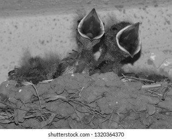 Close up of swallow bird nest in black and white, swallow chicks with mouth opened waiting for feeding time