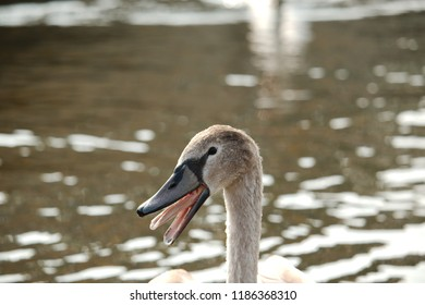 A close up of a swan cygnet with its mouth open showing his/her tongue
