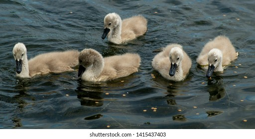 Close up of Swan cygnets water level view