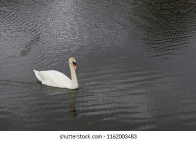 Close up of swan on lake