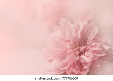 Close up of sweet pink English roses, Sister Elizabeth roses with water drops, dewdrops in pastel tone soft style with copy space for Valentine's card or background