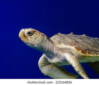 Close up of a swimming sea turtle against a blue backdrop.