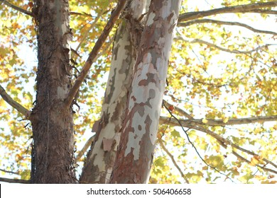 Close Up Of Sycamore Tree Trunk Showing Details Of Bark And Branches With Sun Glistening On Bright Golden Leaves During The Season Of Fall On A Farm In The Mountains Of South West Virginia