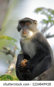 Close up of a sykes monkey with a fruit