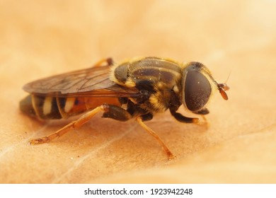 Close up of the syrphid fly, Merodon equestris , in Gard, France