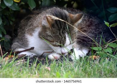 close up of tabby cat grooming in grass under garden bush