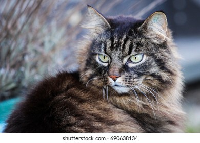 A close up of a tabby cat with long fur looking over its shoulder outside during day light. A identification tattoo can be seen in the left ear.