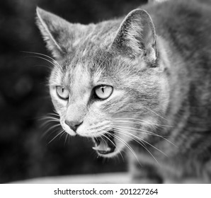 Close up of tabby cat with mouth open meowing and preparing to vomit while sitting - processed in black and white