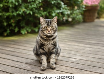 Close up of a tabby cat on the patio decking in the back yard, UK