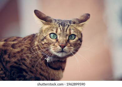 A close up of a tabby scaredy-cat with ears flat and a high level of alertness