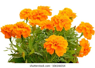 Close up tagetes flower in balcony flowerpot isolated on white background