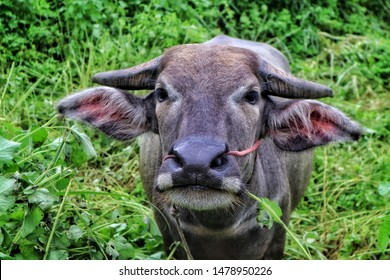 Close up tame buffalo straight stand and ruminate the grass in the mouth.