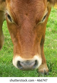close up of tan coloured bullock