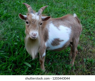Close up of tan and white Nigerian dwarf goat