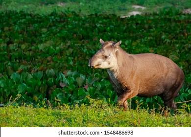 Nahaufnahme eines Tapir, der im Nachmittagslicht durch eine Lagune mit Wasserpflanzen führt, Pantanal Wetlands, Mato Grosso, Brasilien