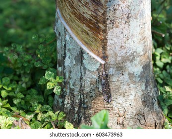 close up of tapping latex from rubber tree in south of thailand