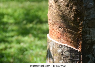 Close up tapping latex or sap from a rubber tree.