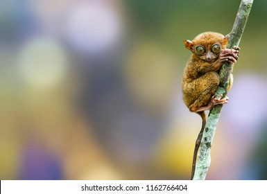 close up Tarsier in the rainy forest in Bohol,Cebu,Philippine. It look around  by its big eye. It hang on a tree in front of green bokeh background.