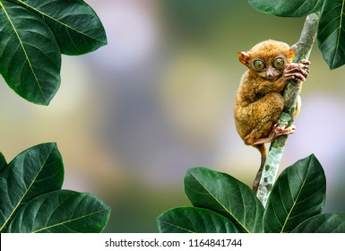 close up Tarsier in the rainy forest in Bohol,Cebu,Philippine. It look around  by its big eye. It hang on a tree in front of green bokeh background. There are green natural leaf in foreground.