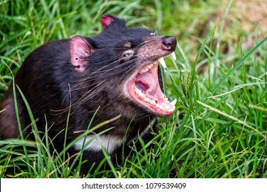 Close up of Tasmanian Devil with jaws wide open