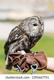 Close up of tawny owl. Wild predator birds training concept. Birdwatcher.