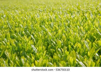 Close up of tea fields (Selective focus)