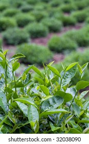 A close up of tea leaves with a row of bushes behind