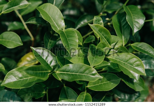 close up Tea plantation close up background after the rain green background