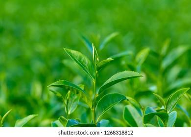 close up up tea tree