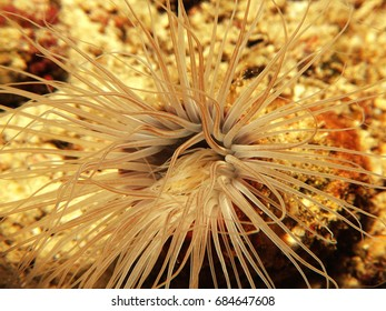 Close up of the tentacles of a Tube-dwelling anemone, Kaafu Atoll, Maldives
