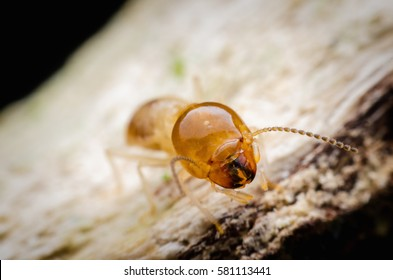 Close up termite on wood