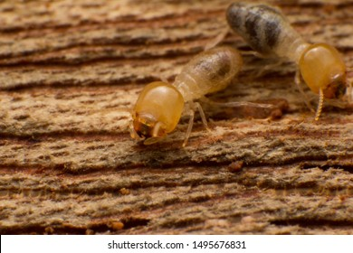 Close up termites are eating the wood of the house, They destroy wooden parts and destroy wood products.