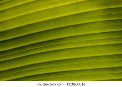 Close up texture of banana texture green leaves