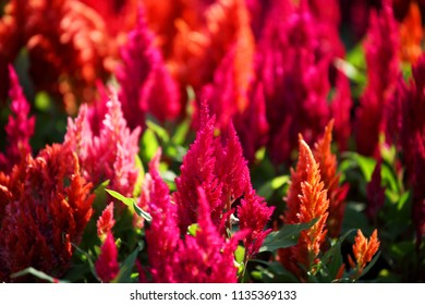 close up texture of colorful gardening celosia flower.