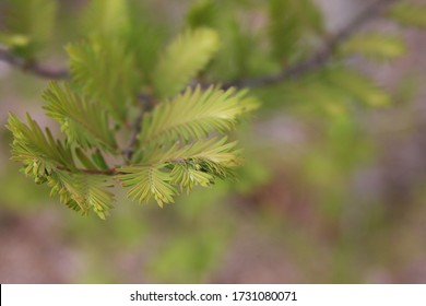 Close up texture of Dawn Redwood leaves