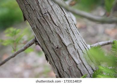 Close up texture of a Dawn Redwood sapling