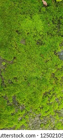 Close up texture of green moss on the ground