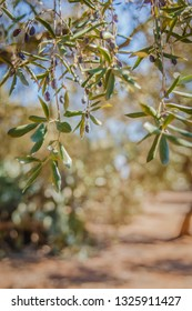 Close up Texture of Olive Tree Branch and Leaves from Apulia, Southern Italy