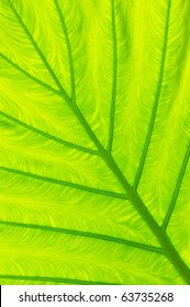 the close up texture of  yellow green taro leaf under the sunlight
