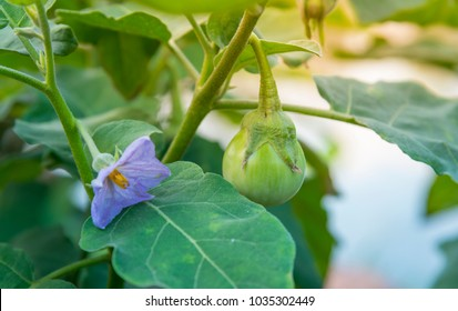 Close up Thai Eggplant with flower on green leaf and tree.
