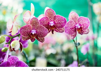 Close up Thai Phalaenopsis orchid flower with soft green garden background.