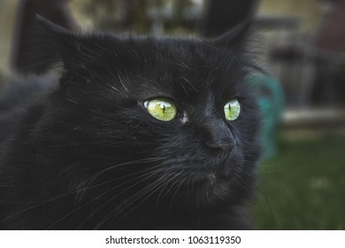 Close up of thick long hair black Chantilly Tiffany cat lying at the garden. Fat tomcat with stunning big green eyes get scared.