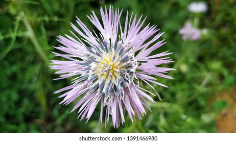 Close up of a thistle flower in a park